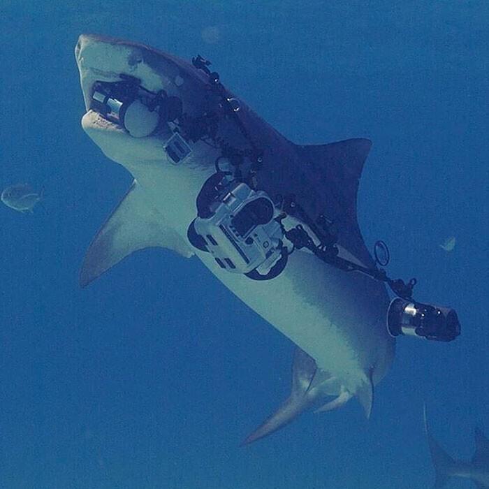 """""""То неловкое чувство, когда тигровая акула, которую ты снимал, выхватывает камеру и уплывает с ней"""""""