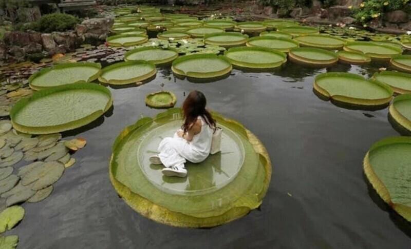 10. Виктория амазонская — национальный цветок Гайаны. Эти кувшинковые достаточно большие, чтобы на них можно было посидеть