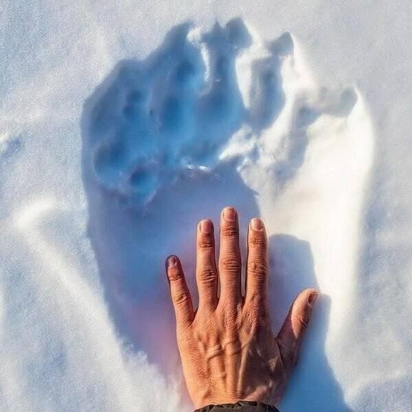 Рука человека по сравнению со следом полярного медведя на снегу