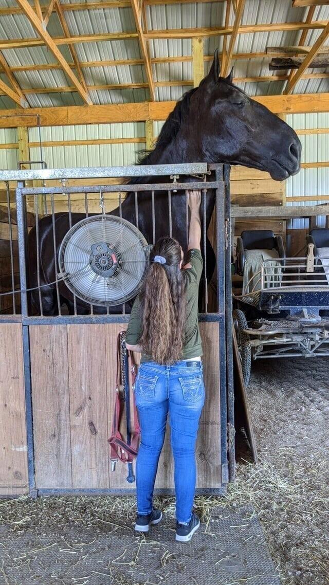 Лошадка породы Першерон и девушка с ростом 165 см