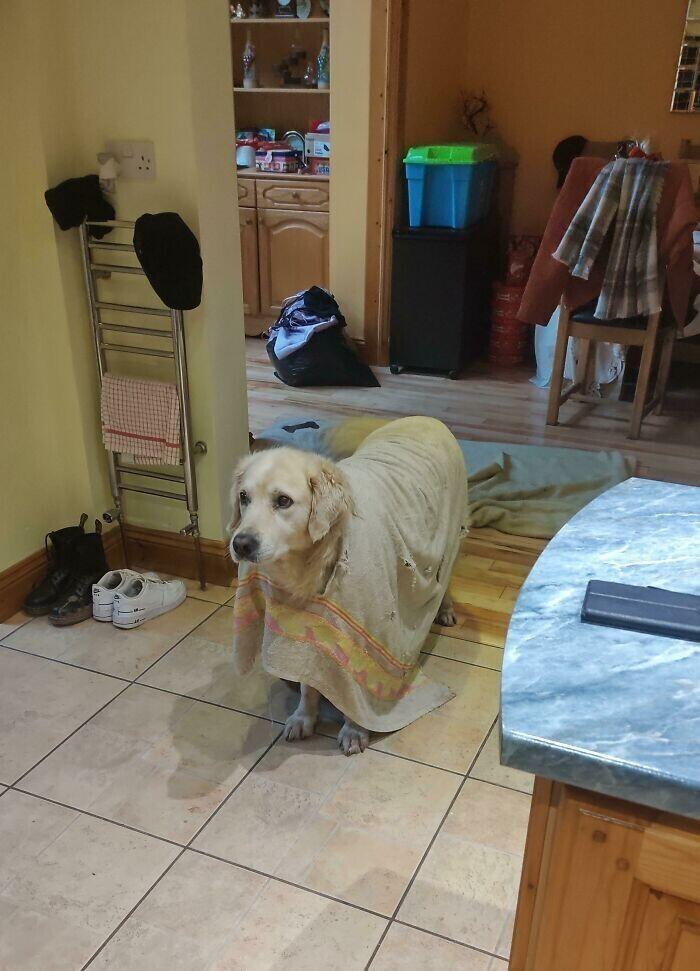 """""""Мой пес прогрыз дырку в полотенце, и теперь носит его, как пончо"""""""