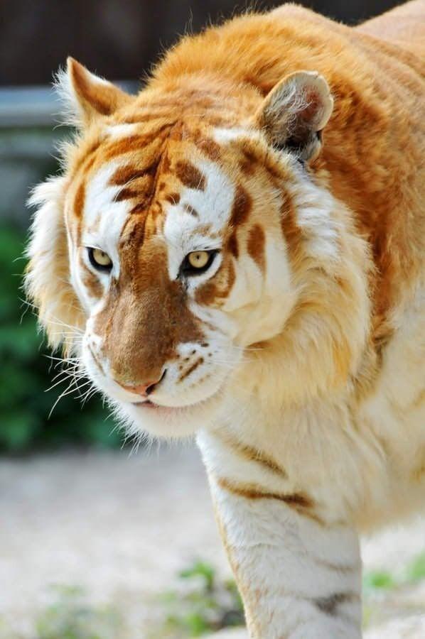 """Редкий """"золотой тигр"""", в мире их всего 30 особей"""