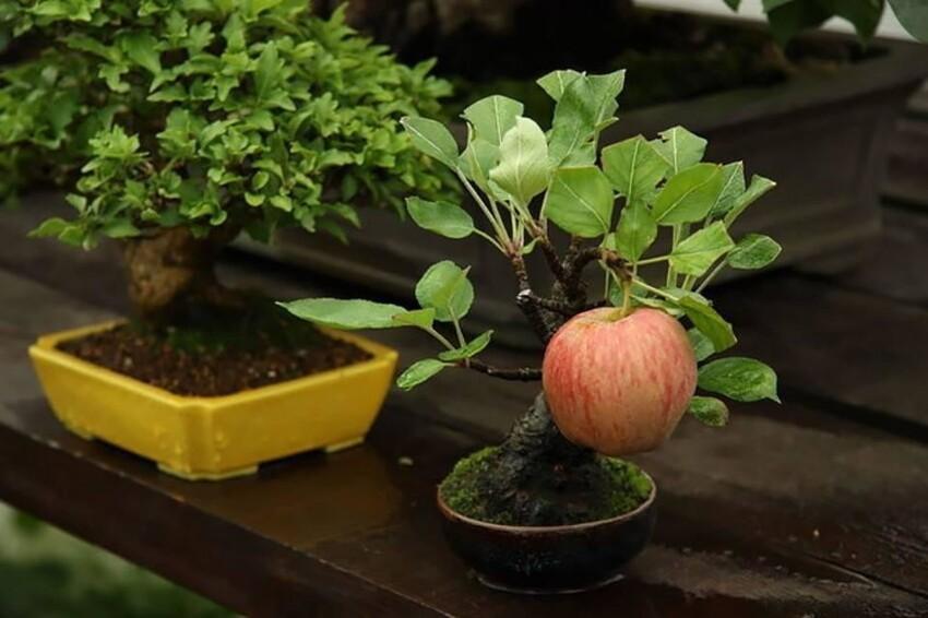 Яблоня Бонсай, на которой выросло большое яблоко