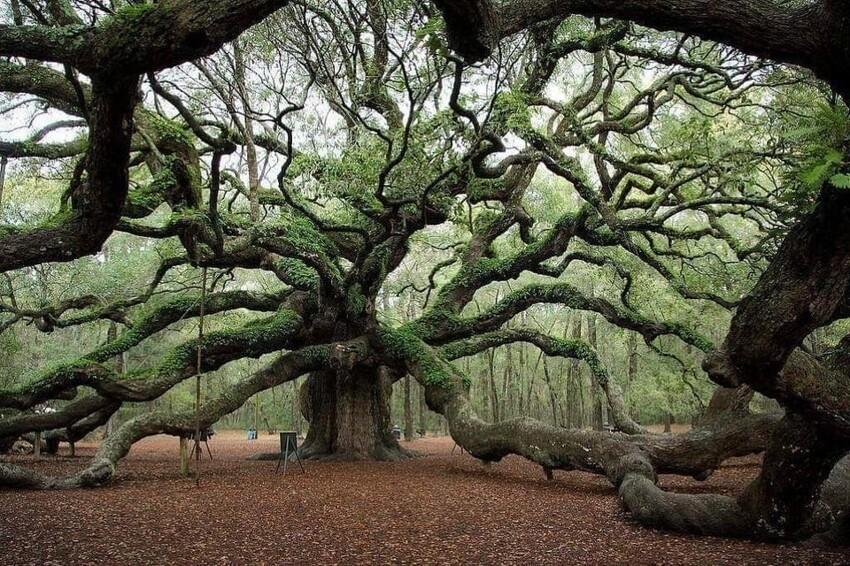 Ангельский дуб из Южной Каролины, возрастом 1500 лет