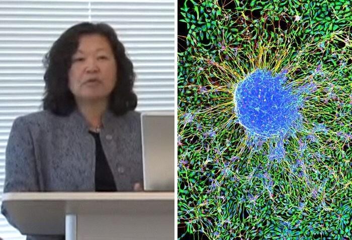 Энн Цукамото - выделение стволовых клеток