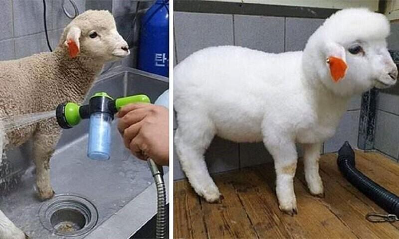 Моющей техникой можно добела отмыть даже овцу!