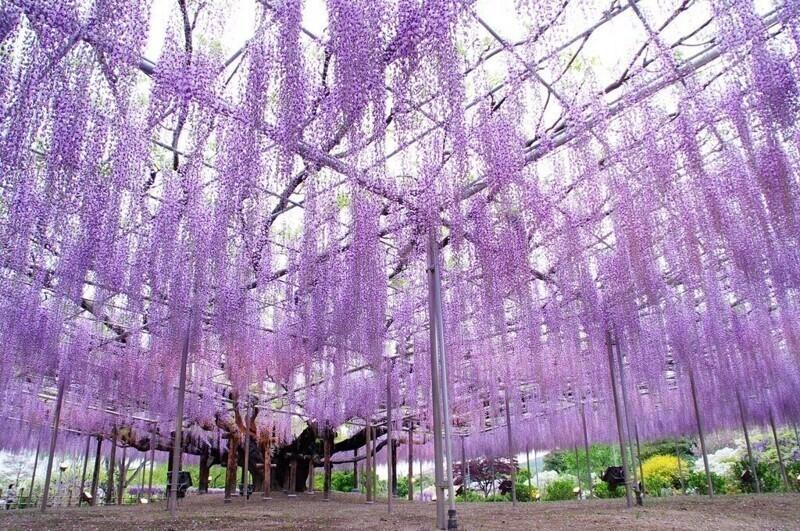 Этому дереву Японской глицинии - 150 лет