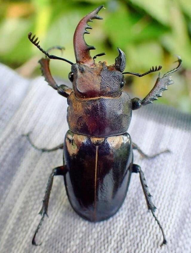 Редкий жук - гинандроморф. Левая сторона - мужская, правая-женская