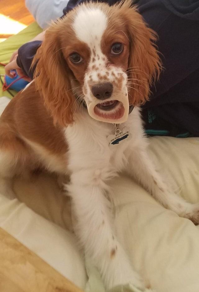Собака не удивилась, просто у неё во рту кость