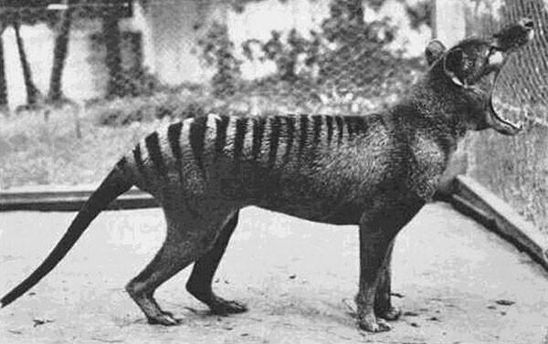 8. Последний тасманский тигр (ныне вымерший вид), сфотографирован в 1933 году