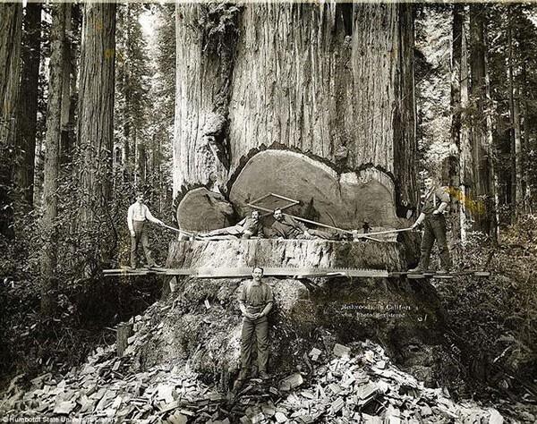 25. Калифорнийские лесорубы и гигантские секвойи