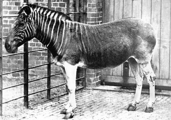 15. Единственная фотография живого квагги (ныне вымершего вида), сделанная в 1870 году