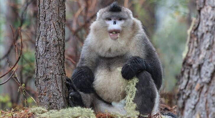 Китайская курносая черная обезьяна обитает на больших высотах