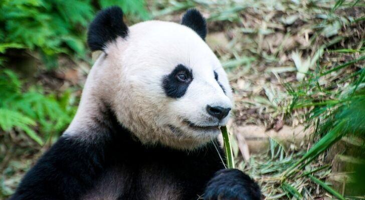 Панды родом из Китая