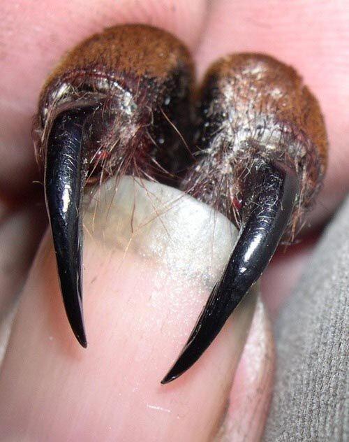 Хелицеры паука-птицееда