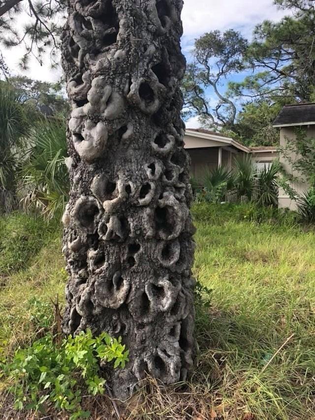 Деформация коры дерева