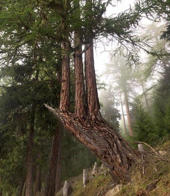 Сломанная сосна, которая превратила свои ветки в 3 новых дерева