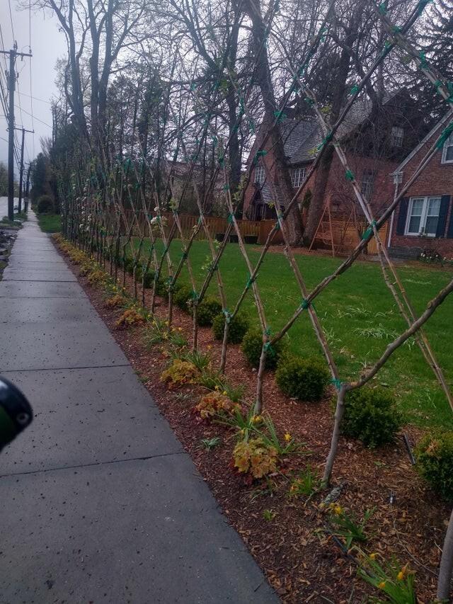 Деревья растут как забор