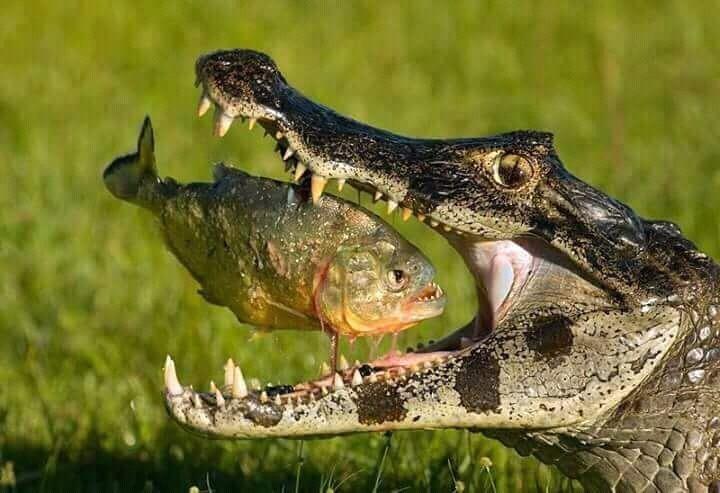 Крокодил поймал не ту рыбу