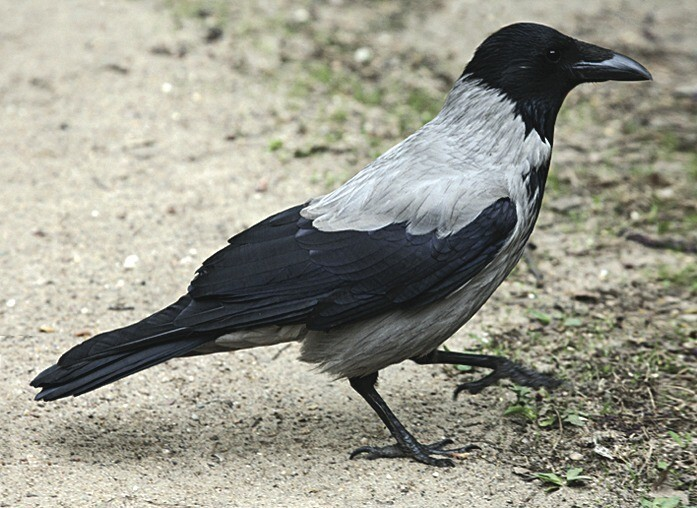 Вот ворона (бывает и черная)