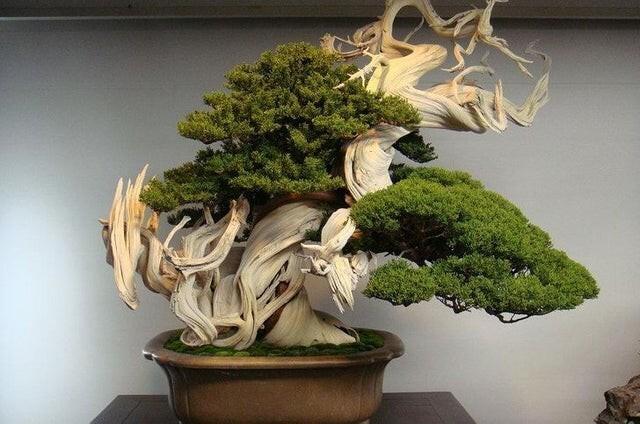 Этому дереву бонсаи около 800 лет