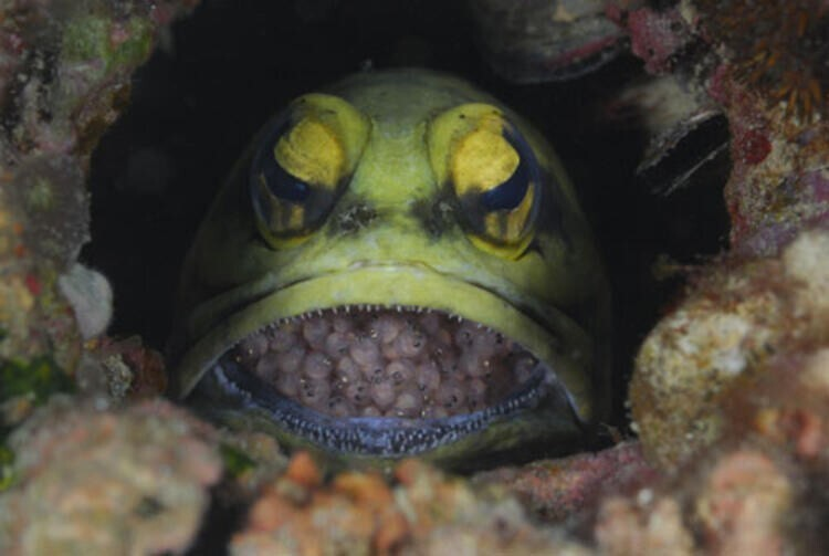 Желтоголовый широкорот вынашивает свои икринки во рту