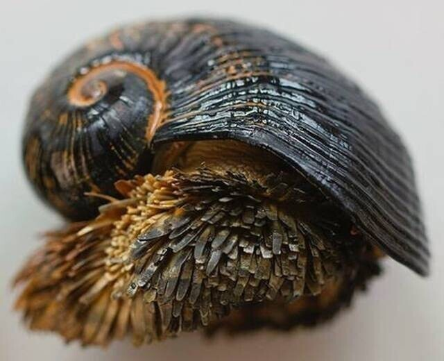 Crysomallon squamiferum - брюхоногий моллюск, в скелете которого есть металл