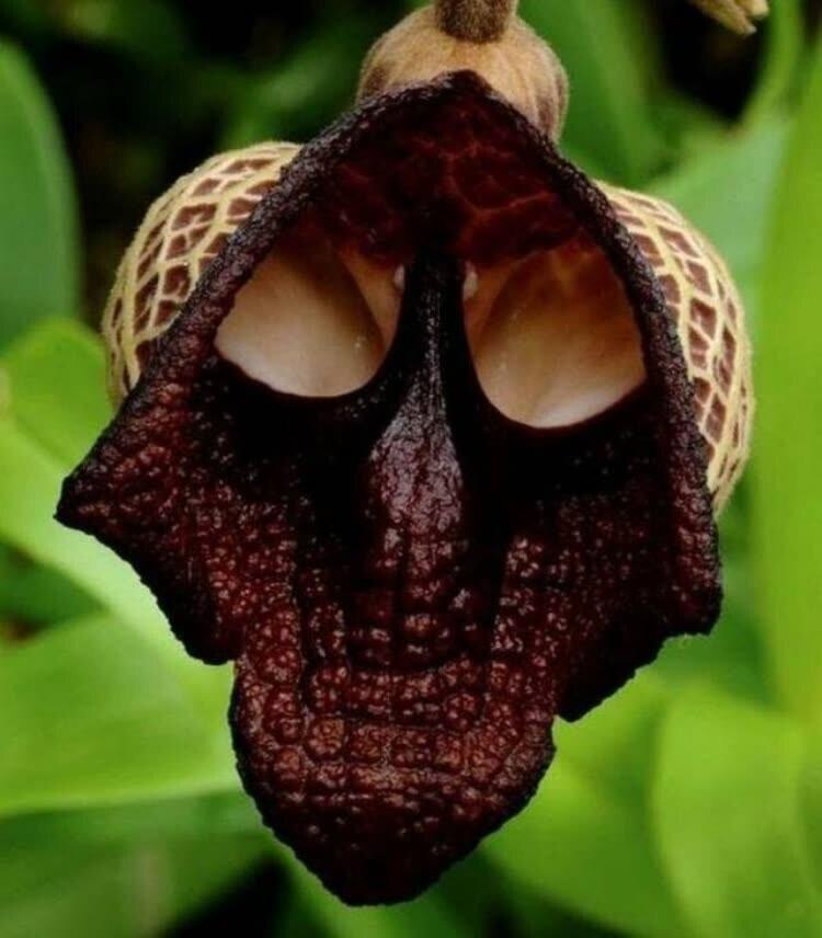 Цветок в виде Дарта Вейдера
