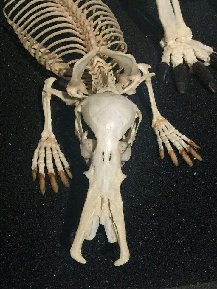 Скелет утконоса