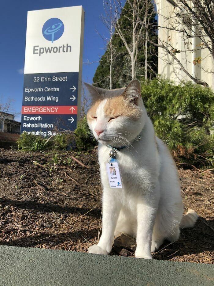 """Этот кот бродил возле больницы почти год. В итоге его """"наняли"""" как охранника больницы"""