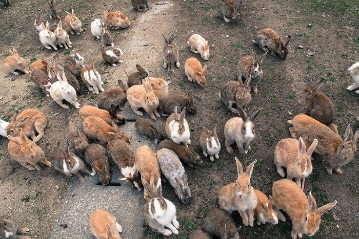 В Японии есть остров, полный кроликов