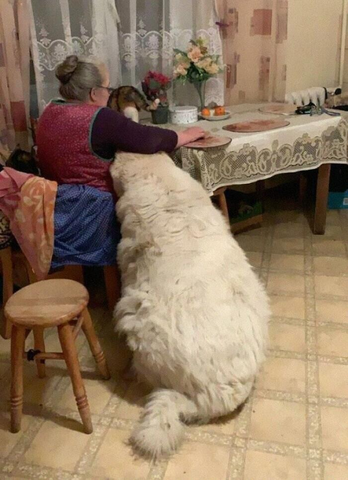 Интересно, бабушка раскормила собаку или завела белого медведя?
