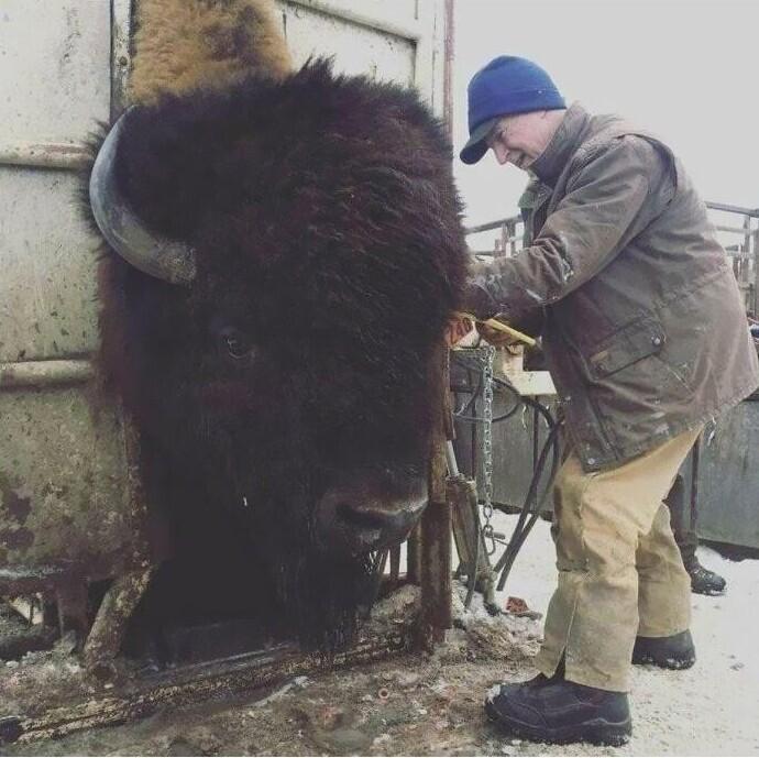 """""""Не так-то просто взять кровь для анализа у такого огромного бизона, который весит больше тонны!"""""""