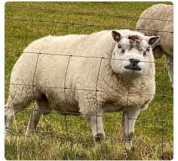 """Невероятная мама-овца!"""