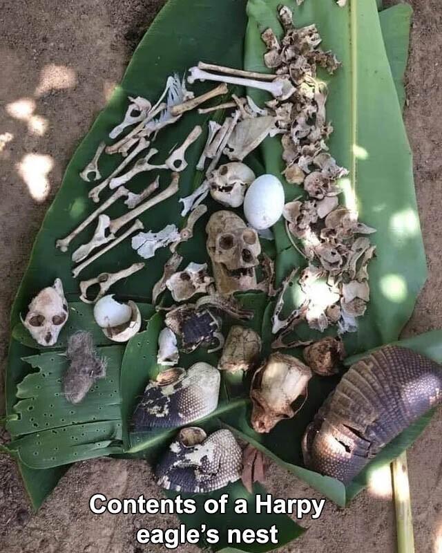 Вот что нашли в гнезде южноамериканской гарпии