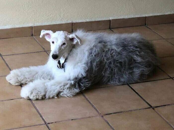 Пастушья собака с побритой головой