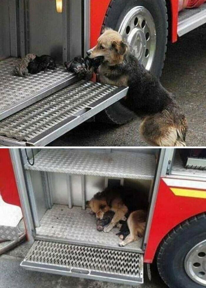 Мать-собака спасла своих щенят из огня, и перетащила каждого в пожарную машину