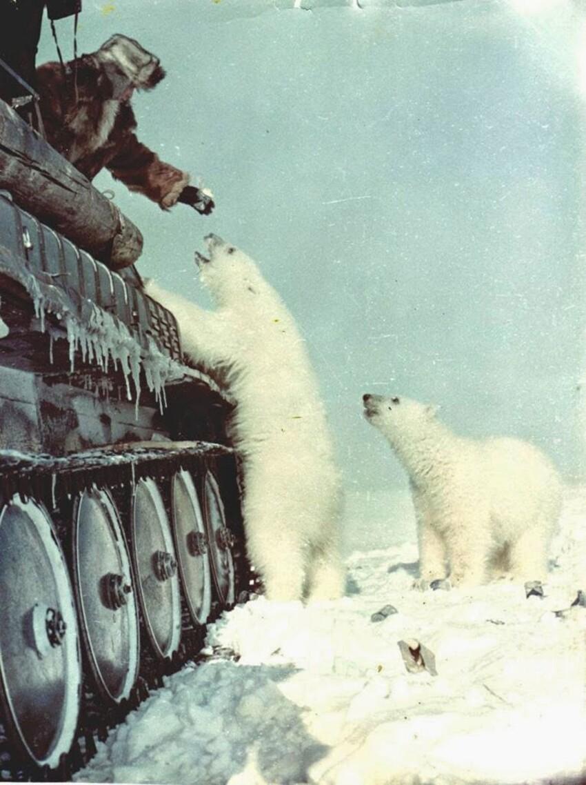 Кормление белых медведей, 1950 год