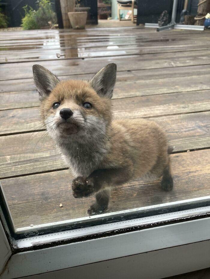 """12. """"Эта лисичка каждый день приходит к нам в сад и хочет подружиться"""""""