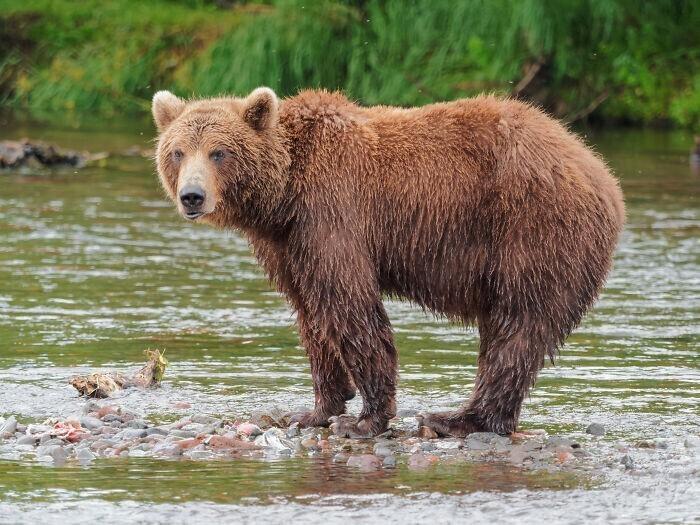 6. В Южной Африке запрещено бороться с медведями