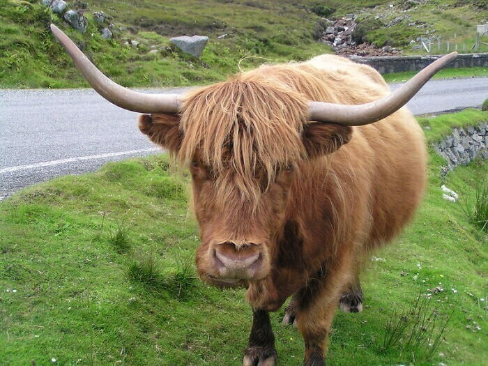 18. Пьяные люди в Великобритании не имеют права управлять крупным рогатым скотом