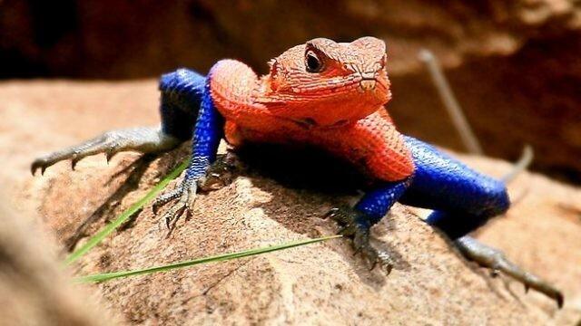 """Ящерица -""""Человек-паук"""" или плоскоголовая скальная агама Мванза встречается в Кении. Так окрашены только самцы"""