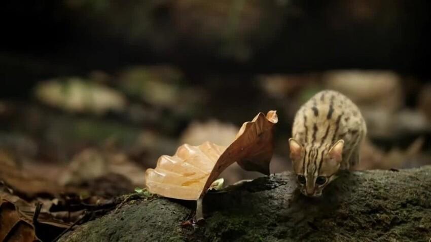 Самая маленькая кошка в мире (Prionailurus rubiginosus) рядом с листом