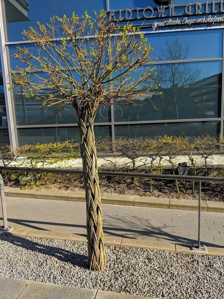 Дерево с плетёным стволом