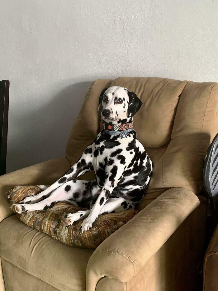 """""""Моя собака любит просто сидеть на кресле и смотреть на всех оценивающим взглядом"""""""