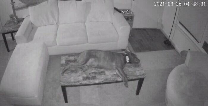 """""""Обнаружили, что делает наш пес, пока никого нет дома. Спит на столе"""""""