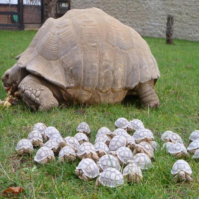 Гигантская мама-черепаха