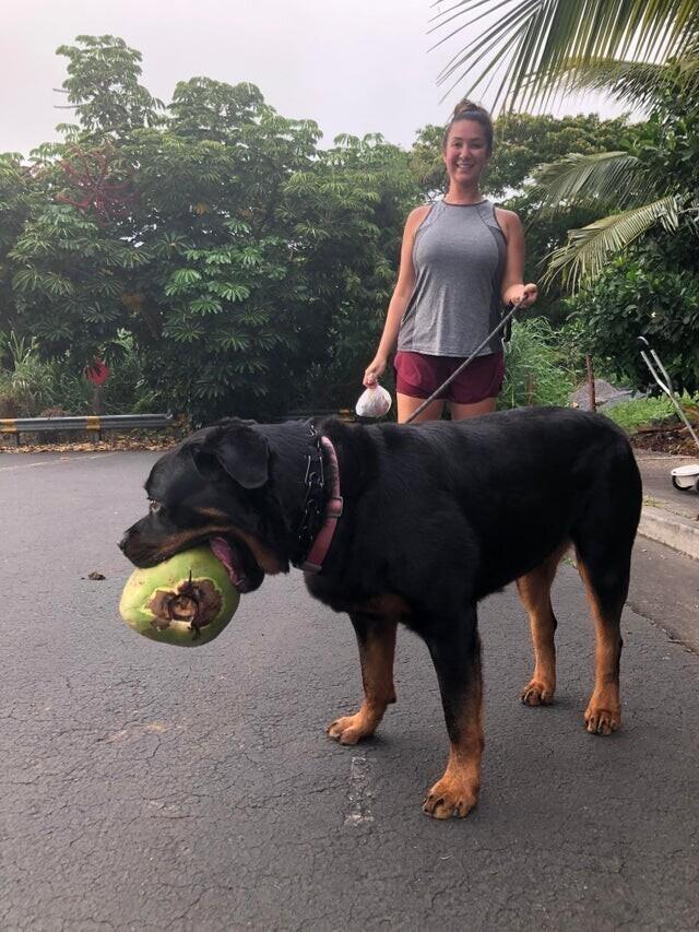 Огромный ротвейлер и огромный кокос