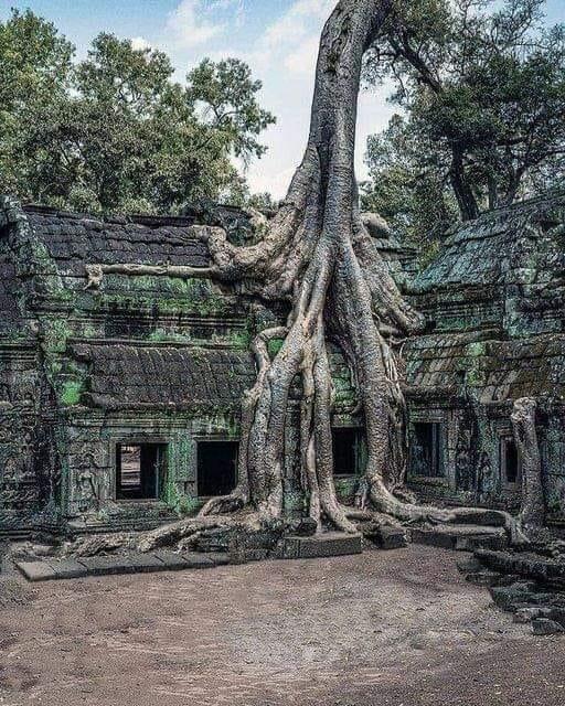 Дерево, Камбоджа