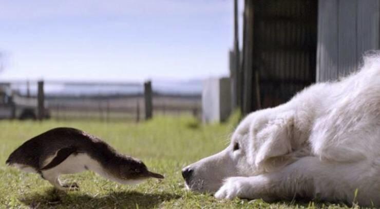 23. Когда лисы обнаружили малых пингвинов на небольшом австралийском острове, они чуть уничтожили всю колонию. Тогда один фермер стал отправлять своих собак защищать птиц